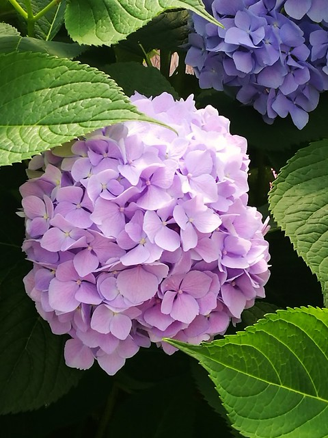 Hydrangea 2018, a different spring.