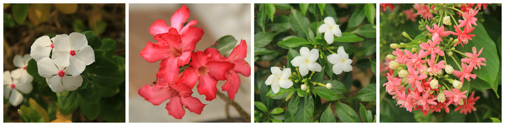 Flowers, Galle Fort