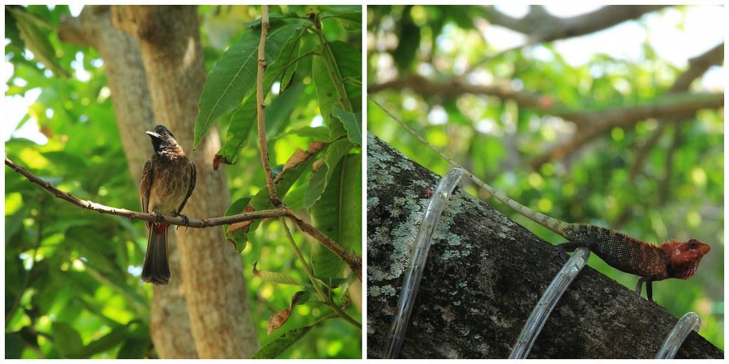 Sr Lankan wildlife, Mango Tree, Galle Fort