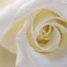 White Rose (II), 4.25.19