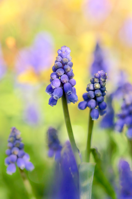 Just some little Grape Hyacinths from the garden