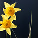 Narcis / Daffodil