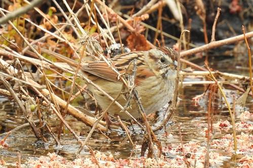 #19 Swamp Sparrow