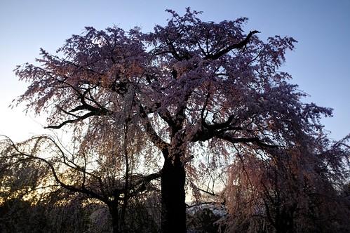 29-03-2020 Kyoto, 'Gion Shidare-Sakura' vol02 (3)
