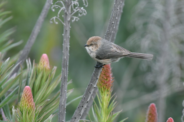Common Bushtit Female