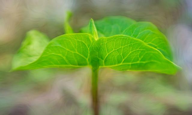 Trillium Bud