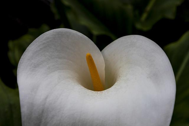 Cala. Zantedeschia aethiopica