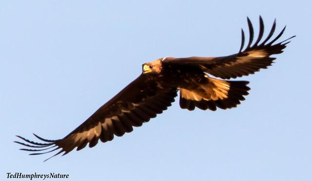 Golden Eagle at close quarters over Guadalentin