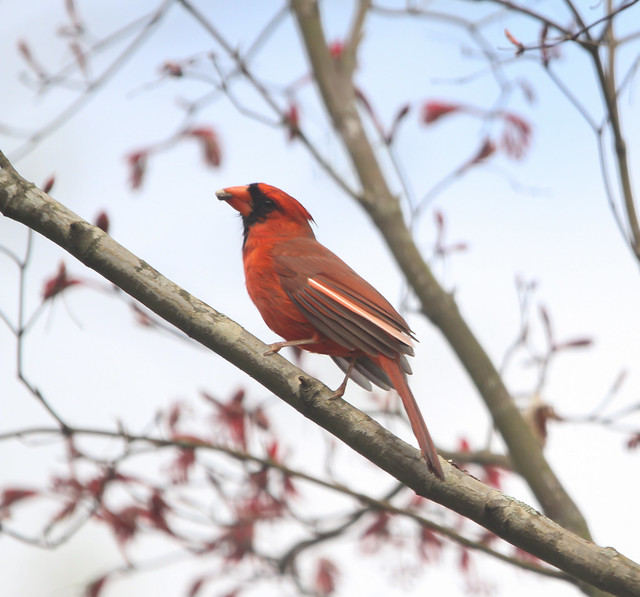 Cardinal with distinguishing feather