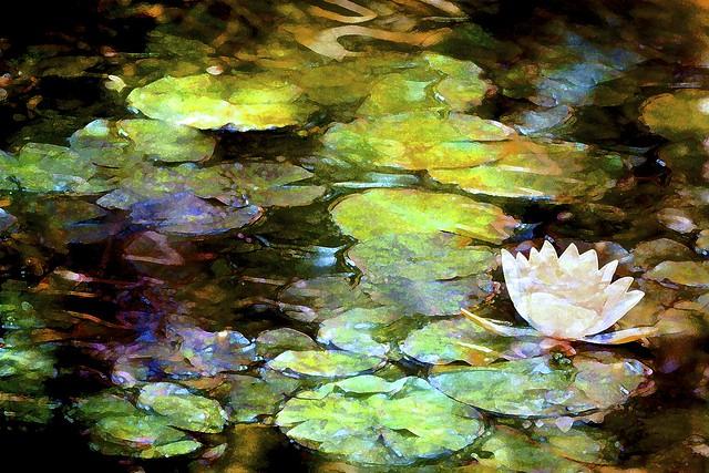Pond Lily 30