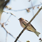 Sa, 28.03.20 - 13:28 - Fringilla coelebs common chaffinch   OLYMPUS M.300mm F4.0 + MC20, handheld  Seuzach Switzerland
