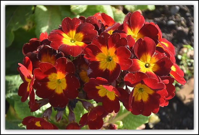 Flower Of The Day - Red Polyanthus