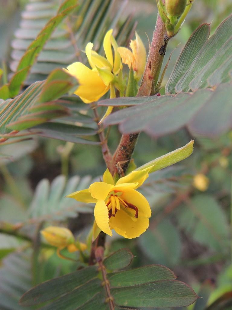 Partrige Pea, Chamaecrista nictitans