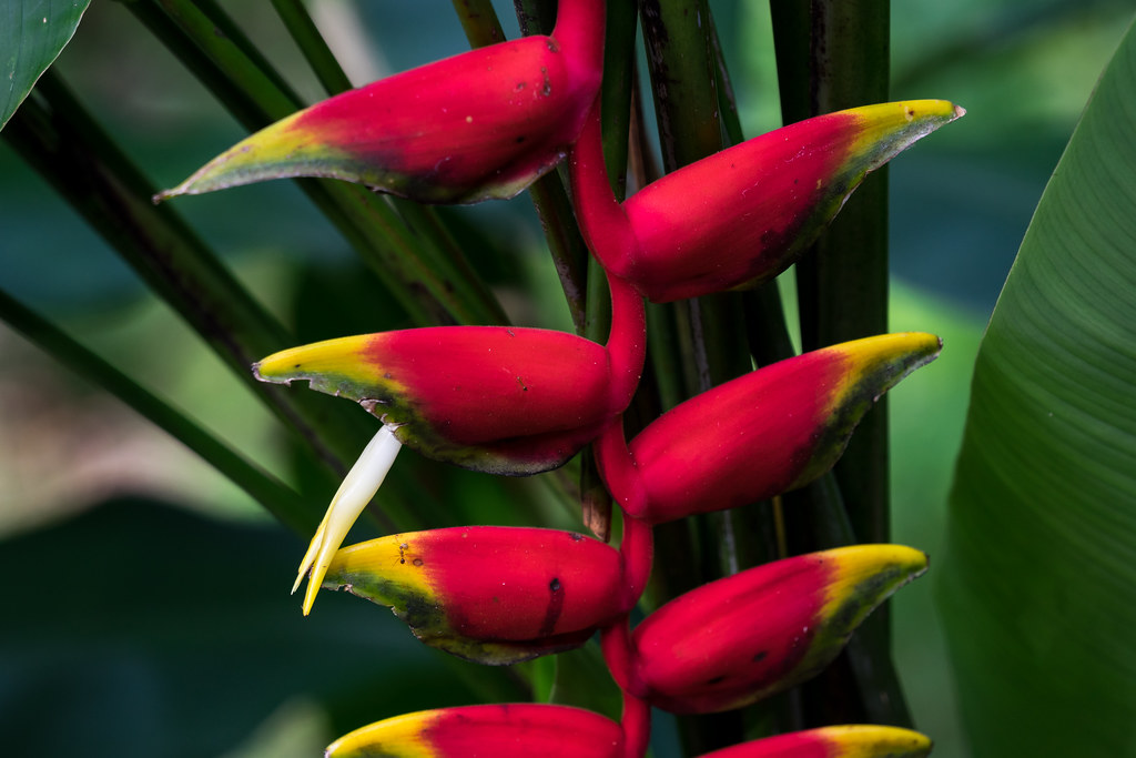 Helikonienart, evtl. Heliconia rostrata. Gesehen im Rainforest Discovery Centre, Borneo.