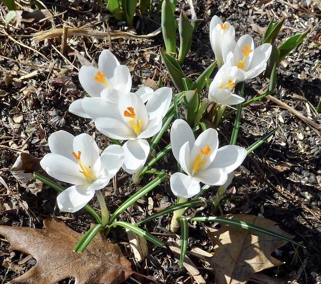 Spring flowers: Crocus