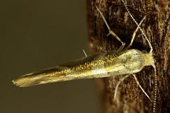 Argyresthia goedartella (4)