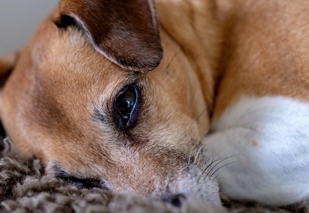 Rosa • a danish-swedish farmdog