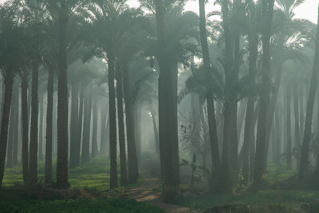 Date Palm Groves Along The Nile