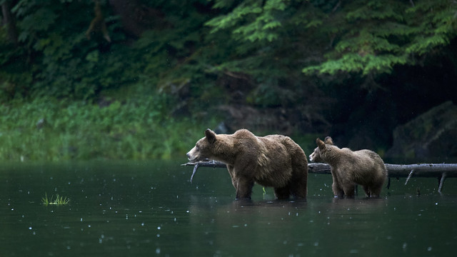 Grizzly mother & cub standing in water on the look out