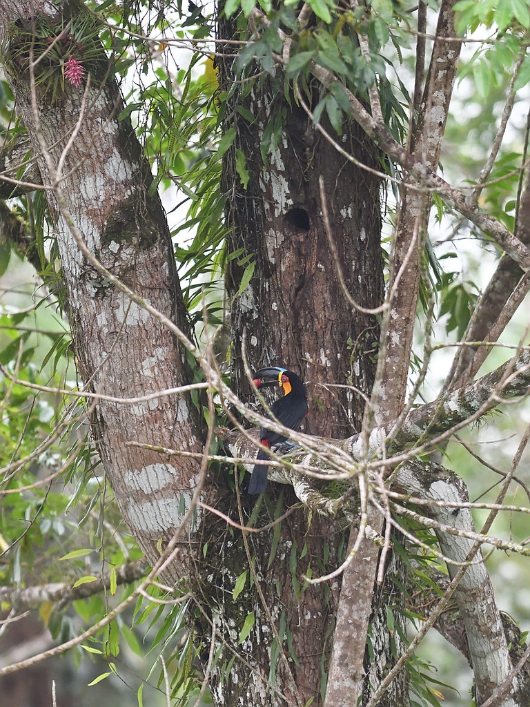 Channel-billed Toucan near nest in hollow tree trunk