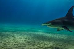 Hammerhead. Bimini, Bahamas