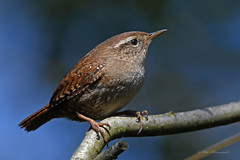 Eurasian Wren (explored)