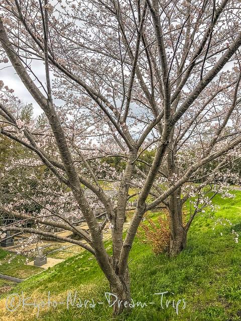 Sakura Along the banks of the Kizugawa River in Kyōtanabe, Japan.
