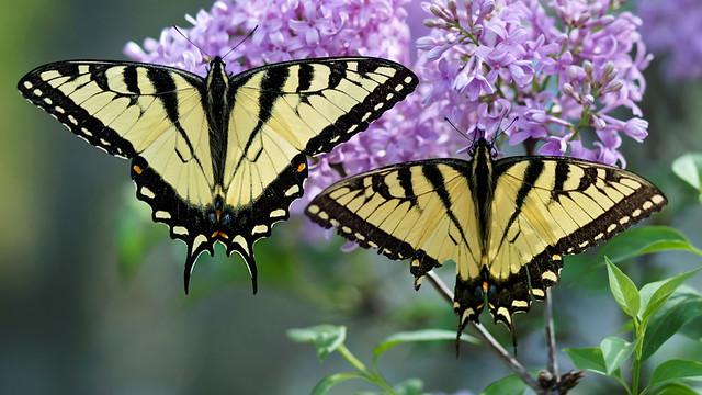 DSC06106 Eastern Tiger Swallowtails