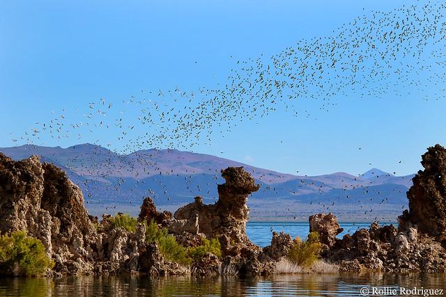 Wilsons Palaropes, Mono Lake, California