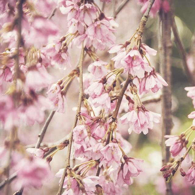 Cherry Blossoms (89/365)