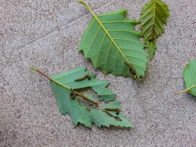 Eating Leaves 02