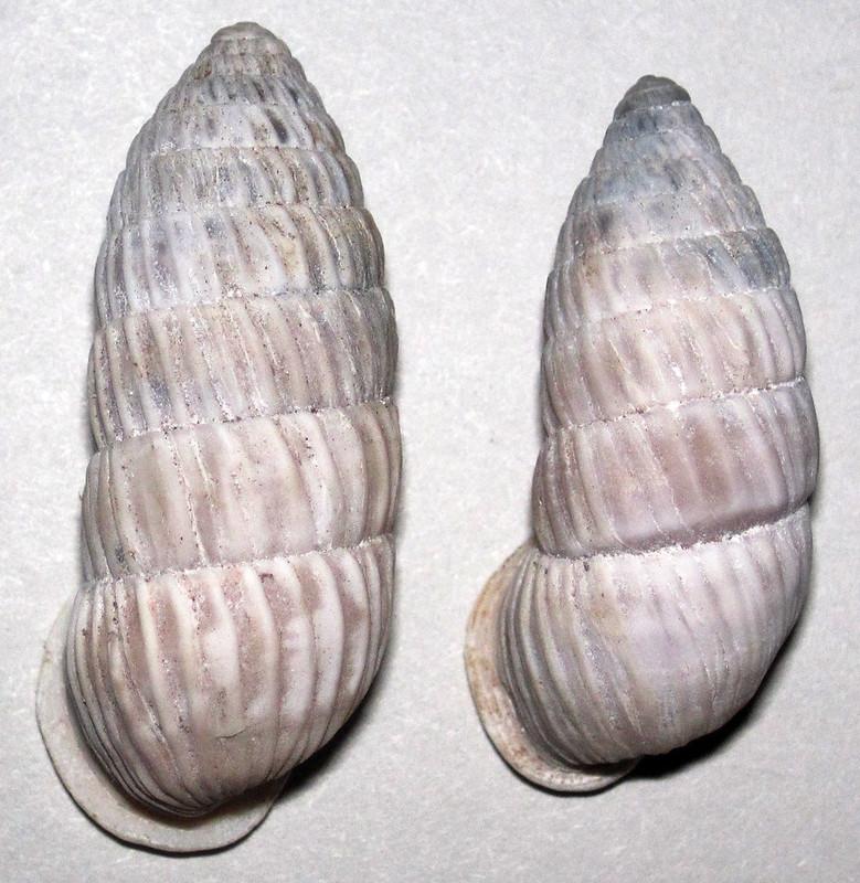 Cerion glans (peanut snail shells) (modern; Eleuthera Island, Bahamas)