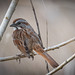 Song Sparrow JFW