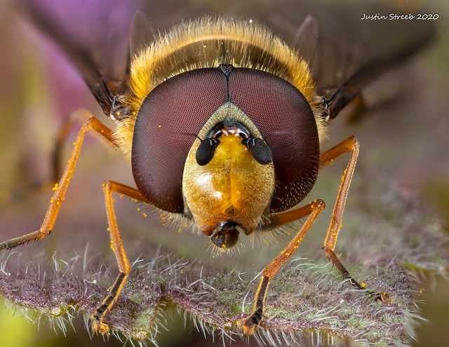 Hoverfly Portrait Stack