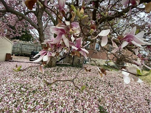 urban urbanlife baltimore maryland magnolias tree flower city baltimorecity landscape nature iphone ilovenature