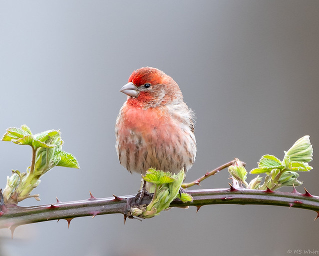 A rose amongst the thorns...House Finch (common).