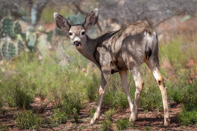 Mule Deer -4022-Edit