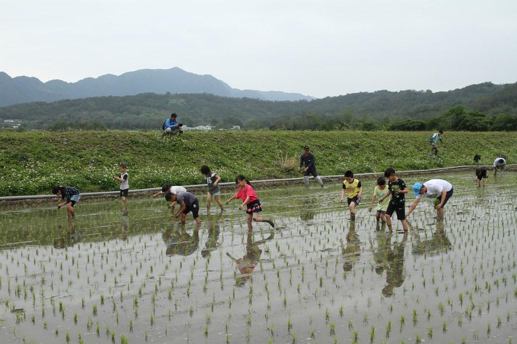 試驗田區也成為附近國中小學農事體驗、學習省水概念的場域。圖為富里國小學童補秧。圖片來源:九河局