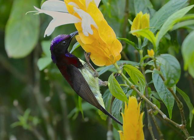 Black-throated Sunbird --- Aethopyga saturata