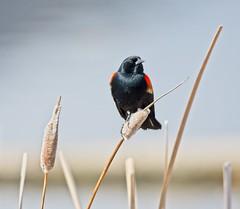 Red-Winged Black Bird 53