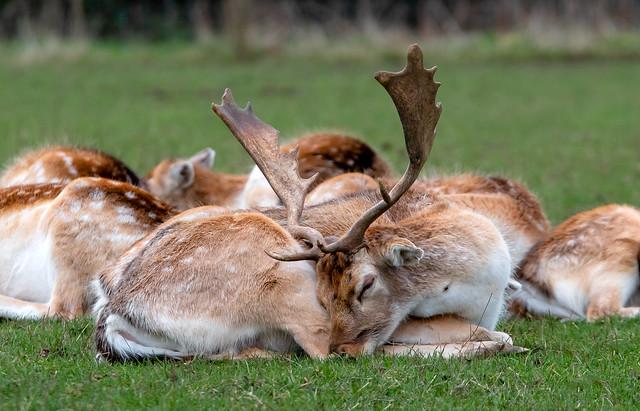 Deer sleep-over..