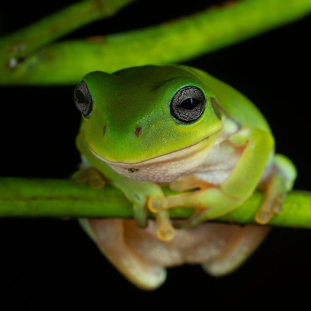 juvenile green tree frog on wattle