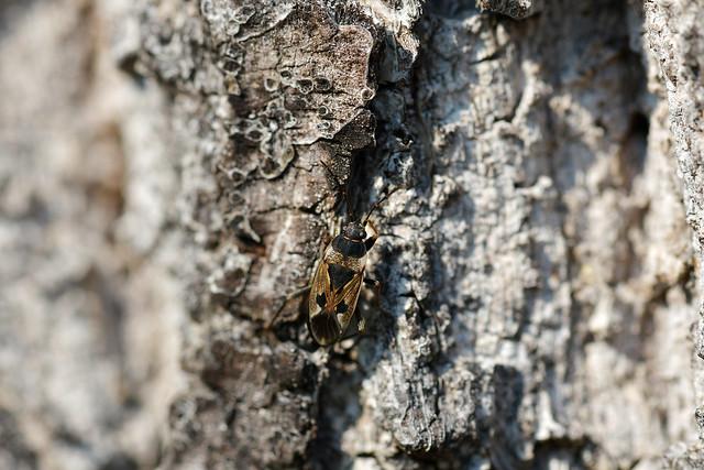 Lygaeid Bug (Rhyparochromus vulgaris)