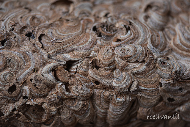 Wespennest / Layers made by wasps