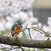 Kingfisher -202003270699.jpg