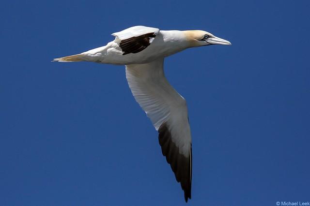 Gannet (Morus bassanus); North Atlantic