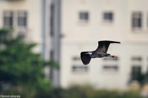 heron westernreef birds unilag lagos nikon d850 500 pf f56
