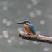 Kingfisher -202003290032.jpg