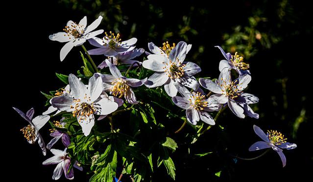 Bouquet of anemones - 6M7A9190