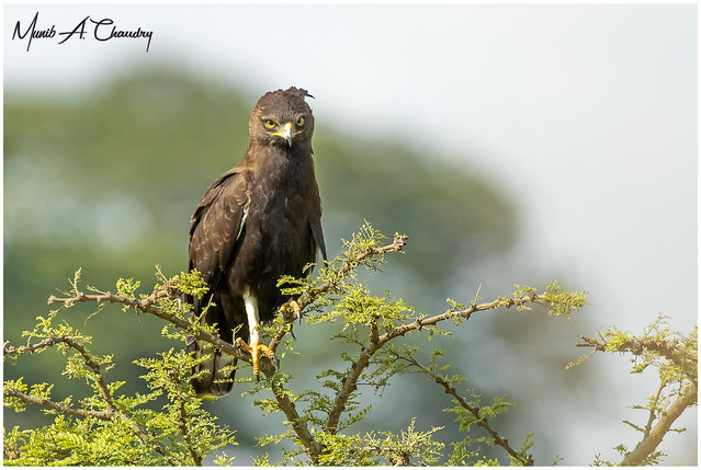 The Long-crested Raptor!